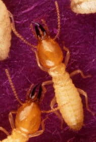 Termite Formosan