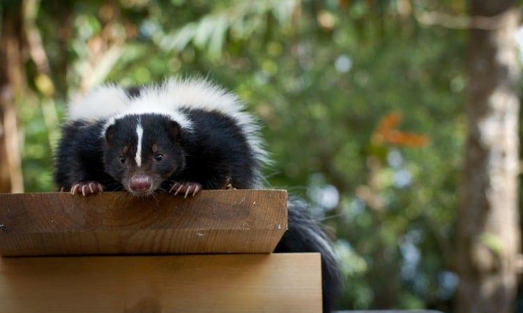 How To Get Rid Skunks Under Deck