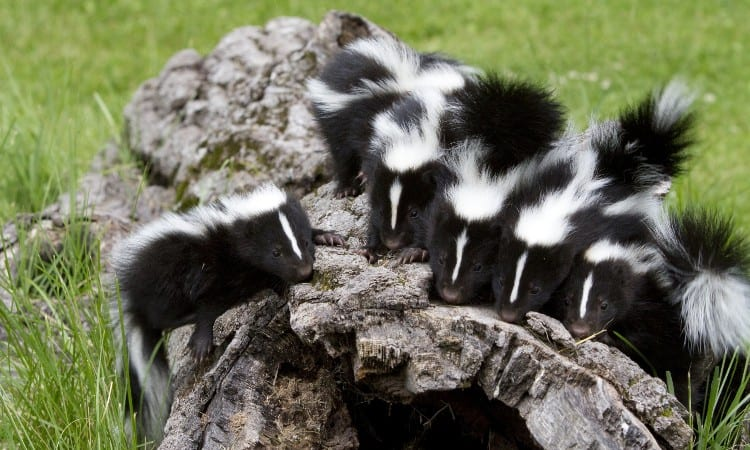 How to get rid of skunks under house